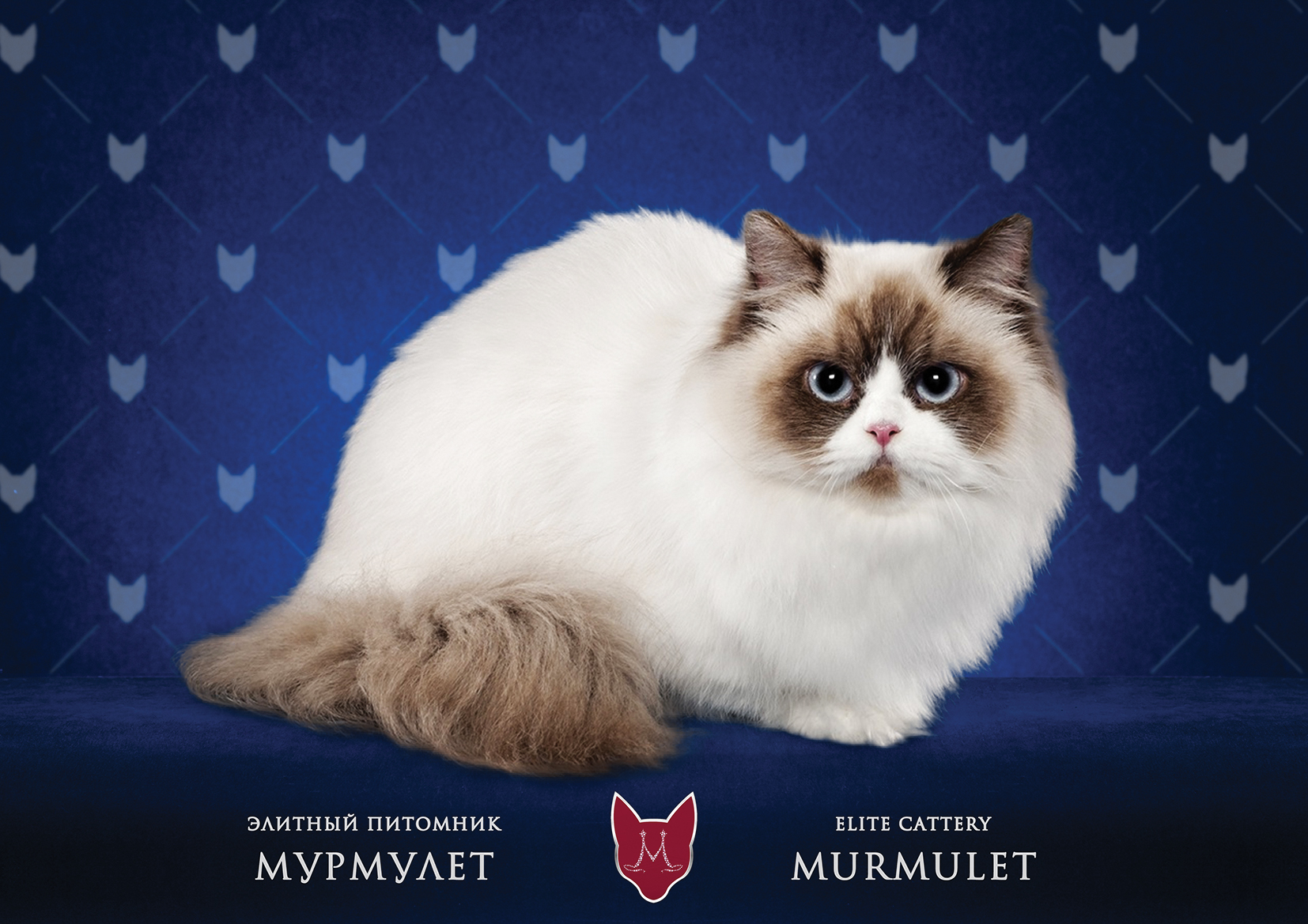 Наполеон-Минуэт Мурмулет