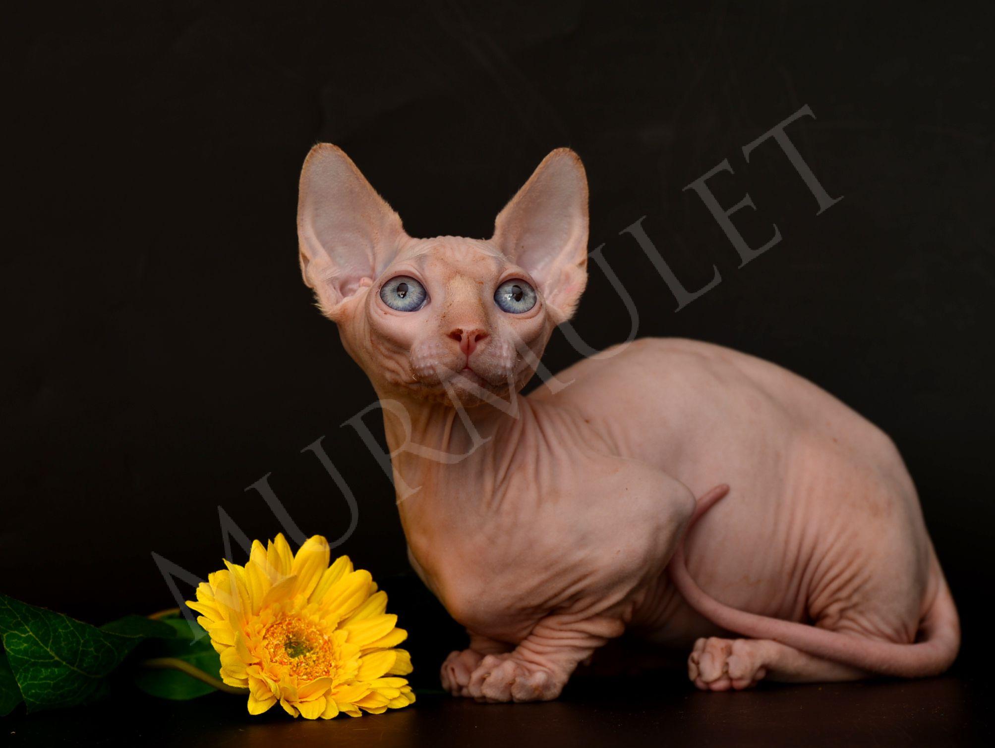 бамбино мини кошка