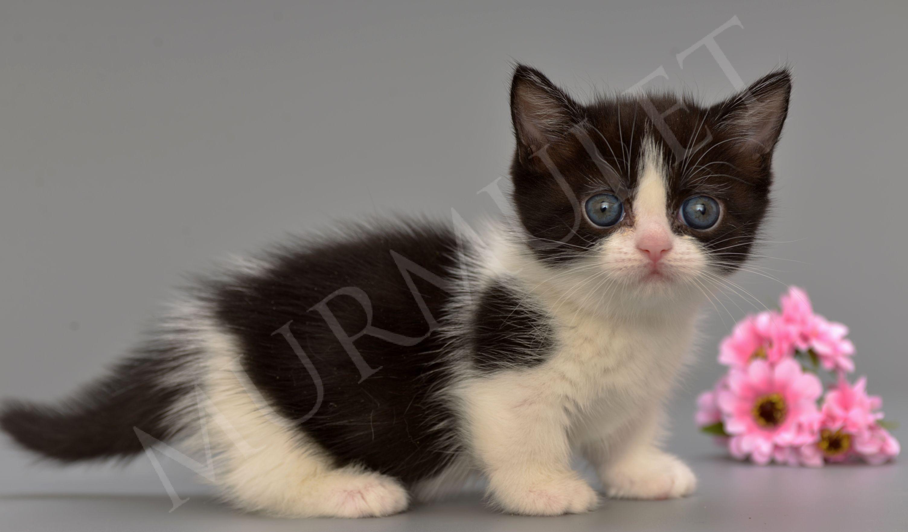 котенок наполеон