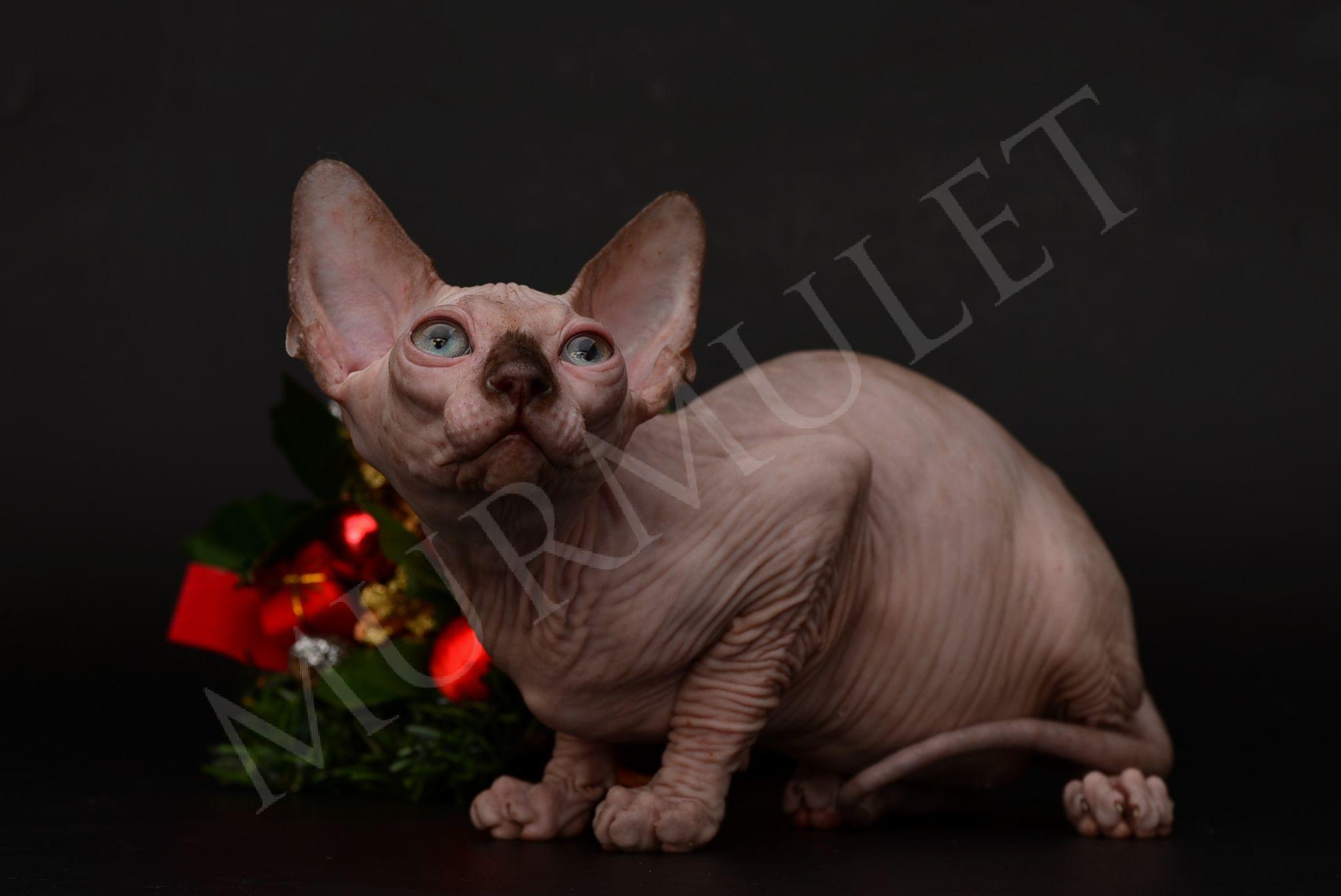 Котенок сфинкс мурмулет