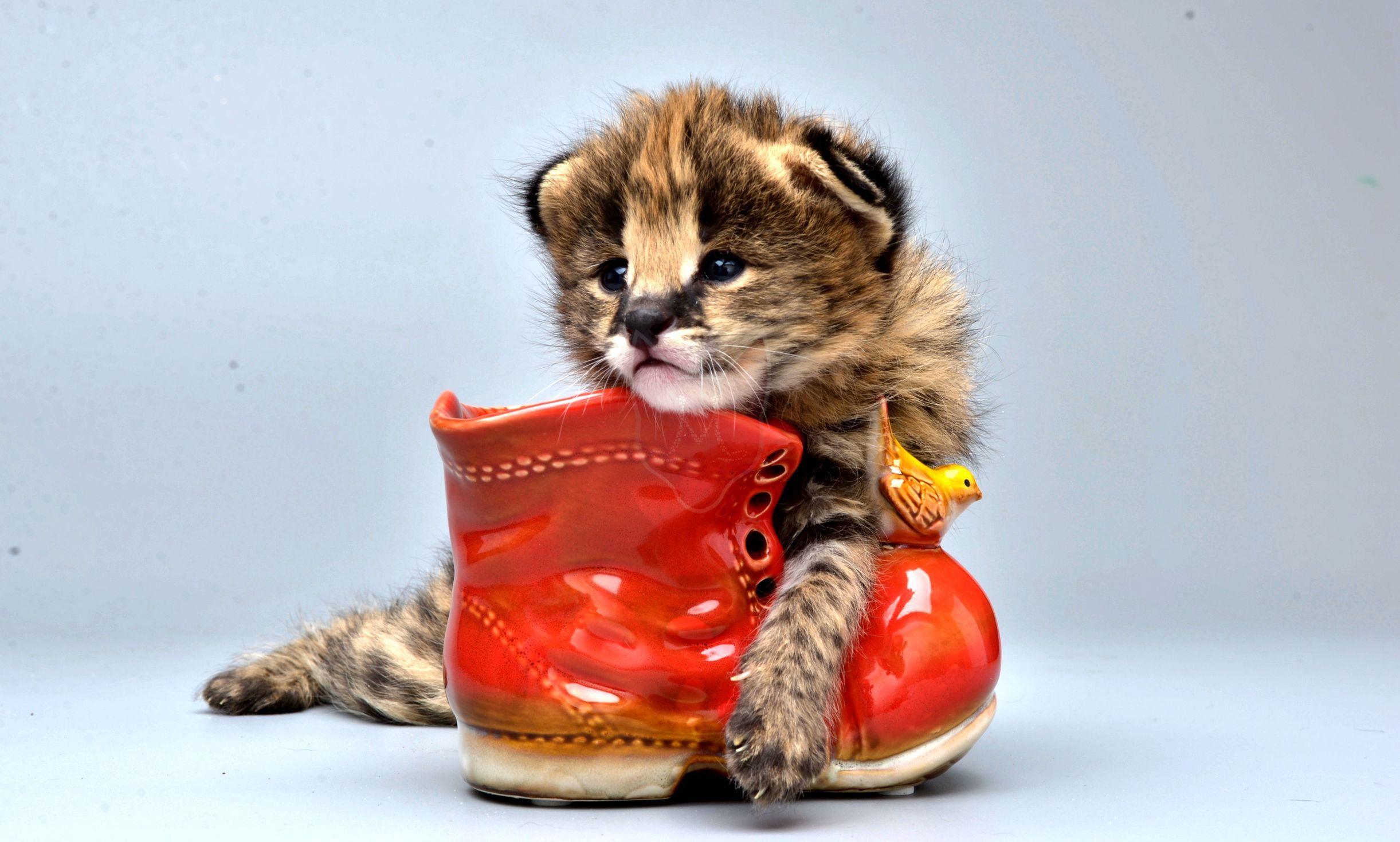 The kitten chewed Murmulet