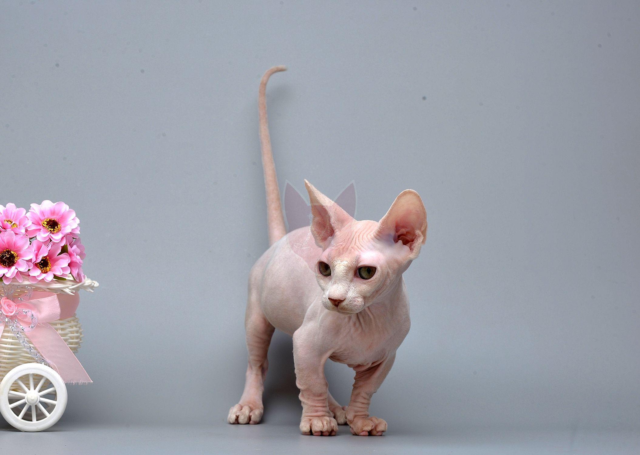 Bambino kitten