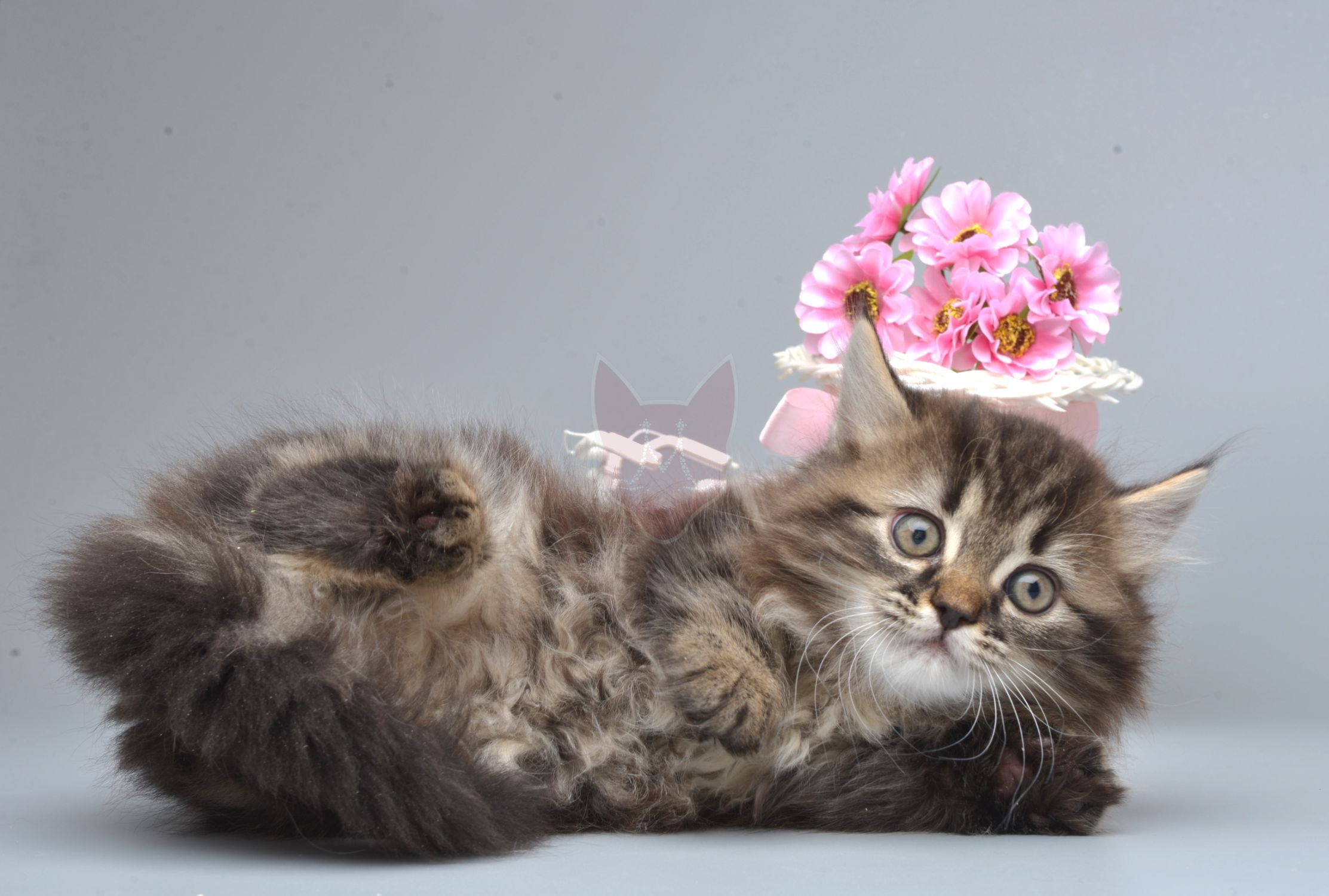 Kitten Napoleon