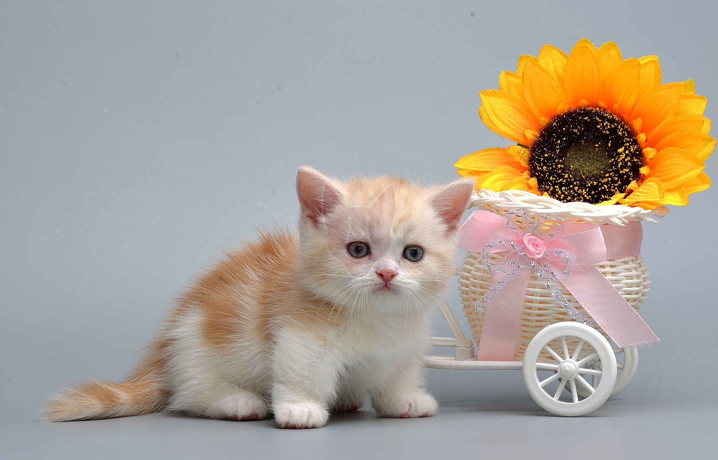 Kitten of Munchkin Murmulet