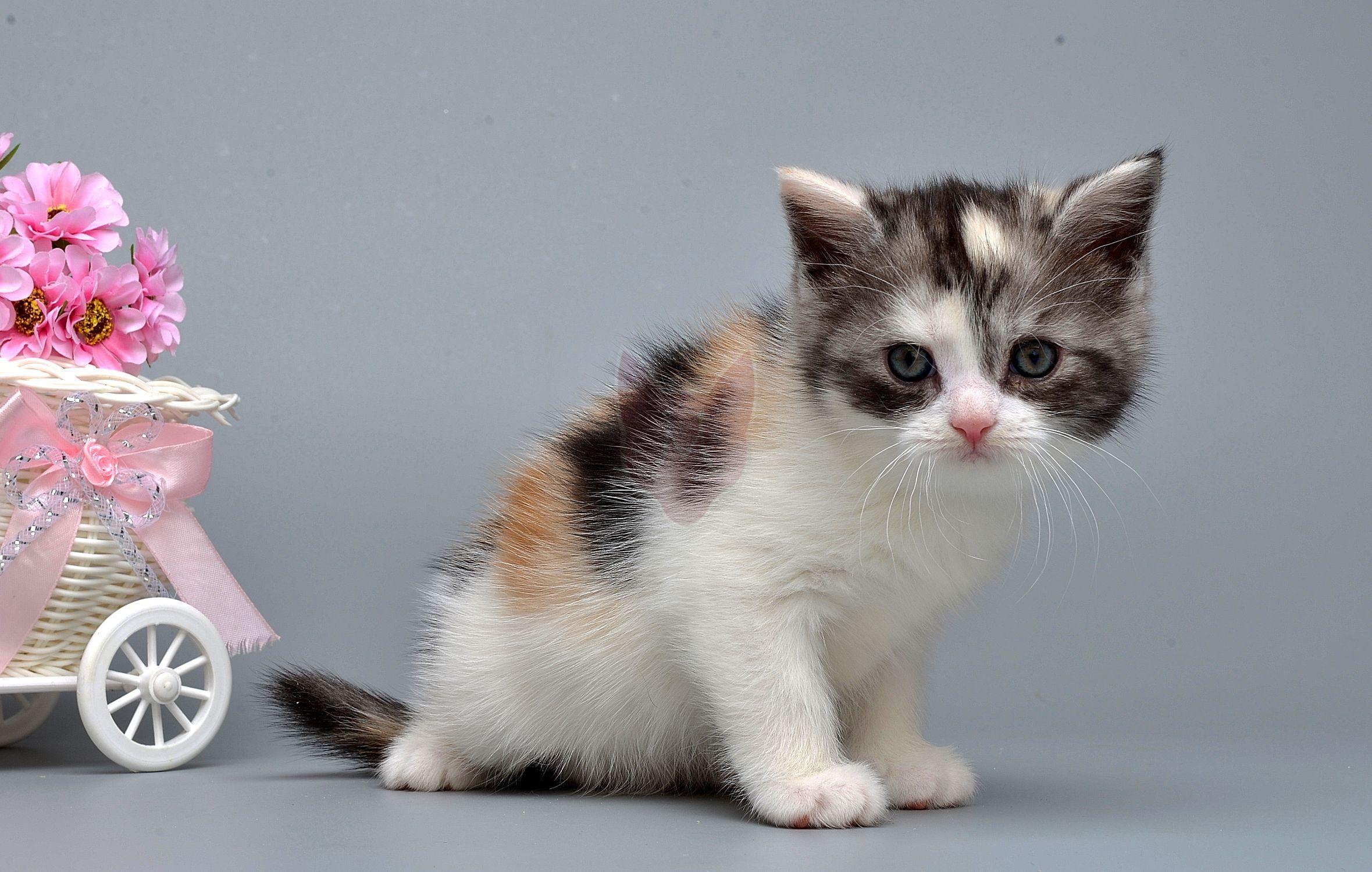 Kitten of Munchkin Murgulet