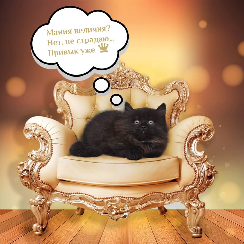 Элитные котята мурмулет