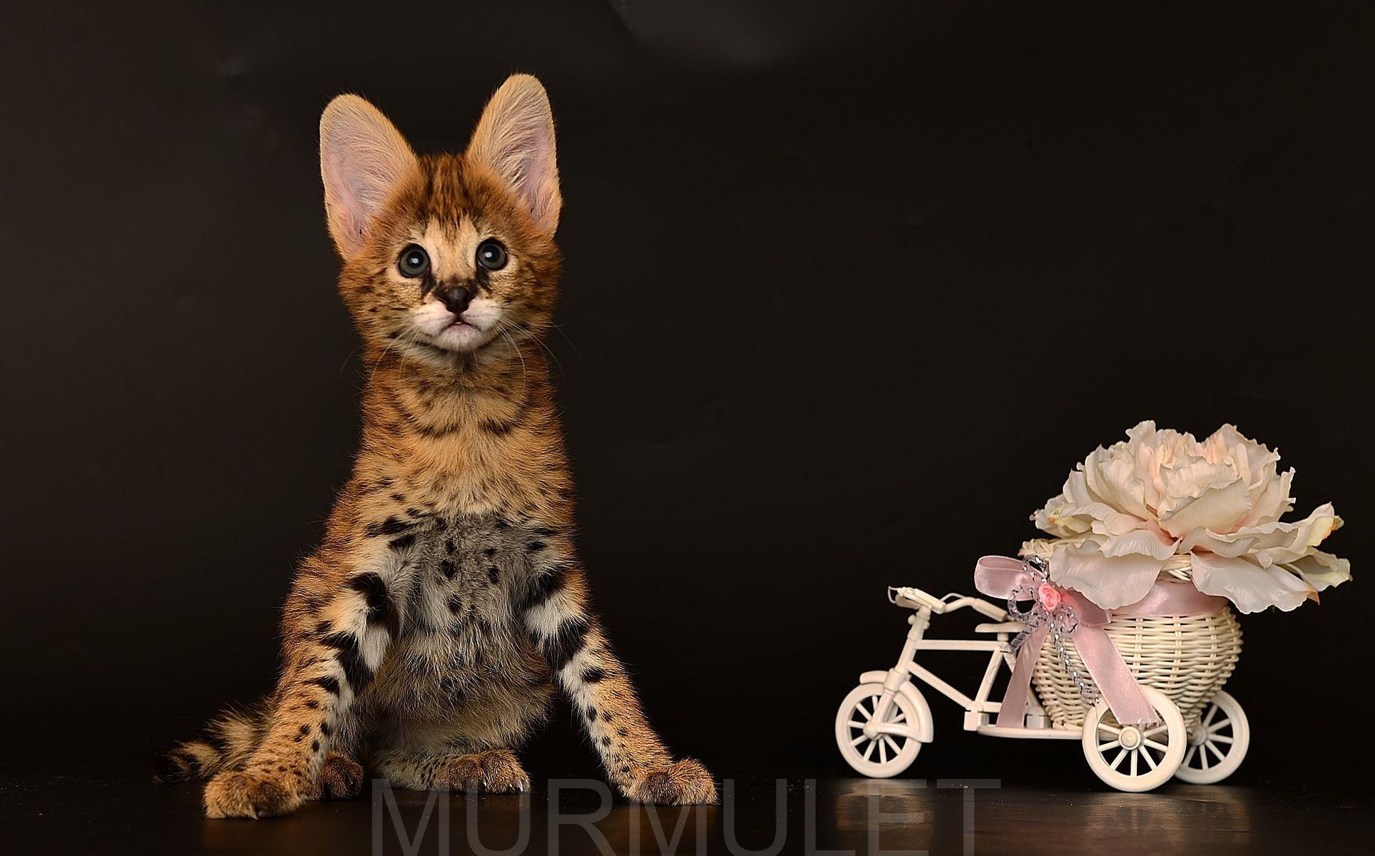 Serval Murmulet