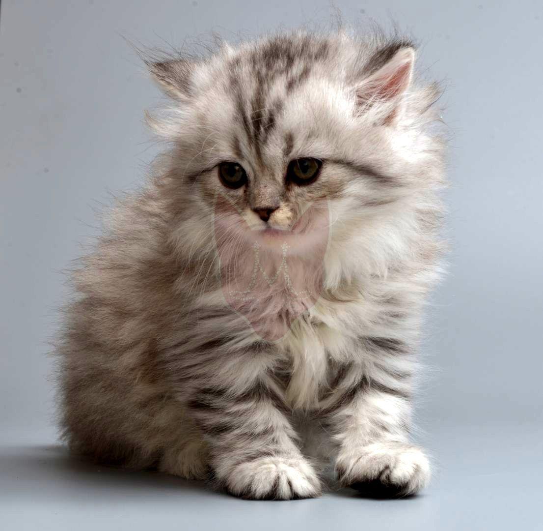 Kitten of the Napoleon breed