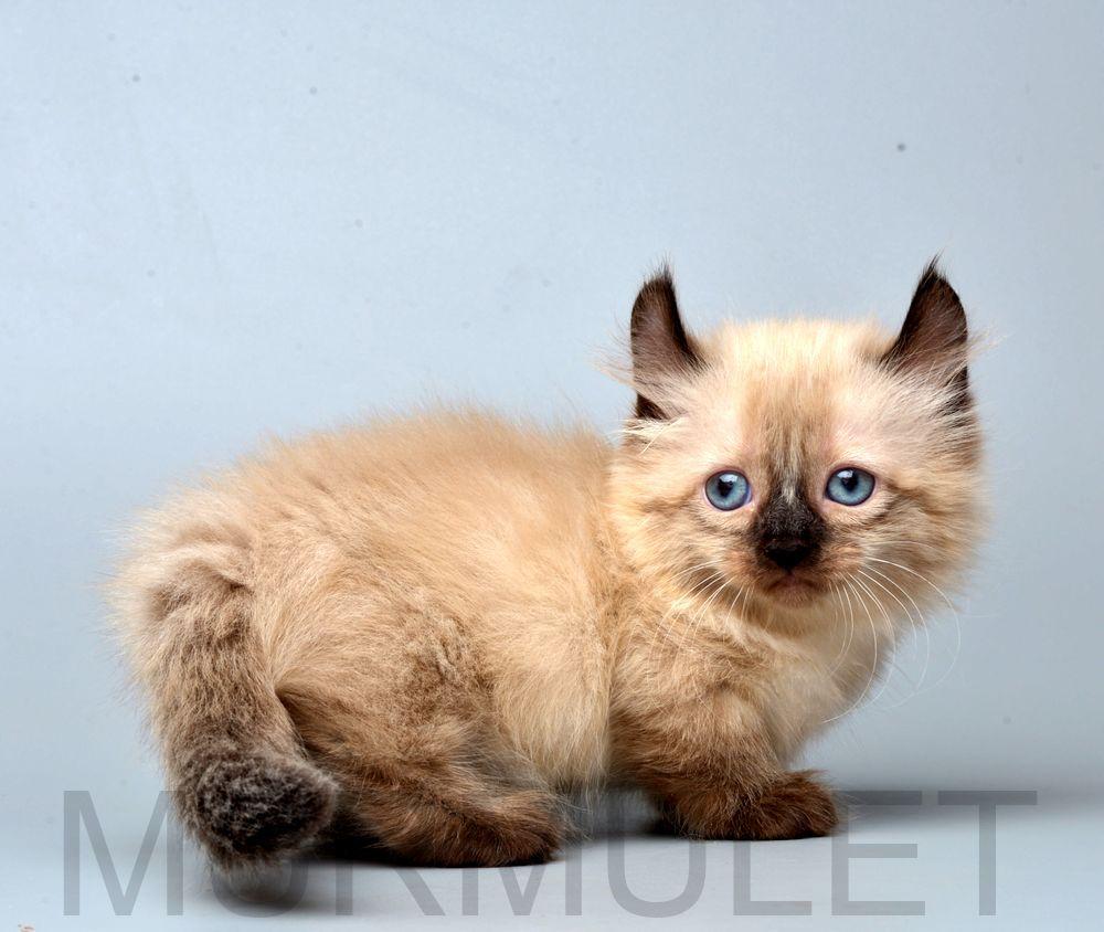 Kitten Kinkalow Helga