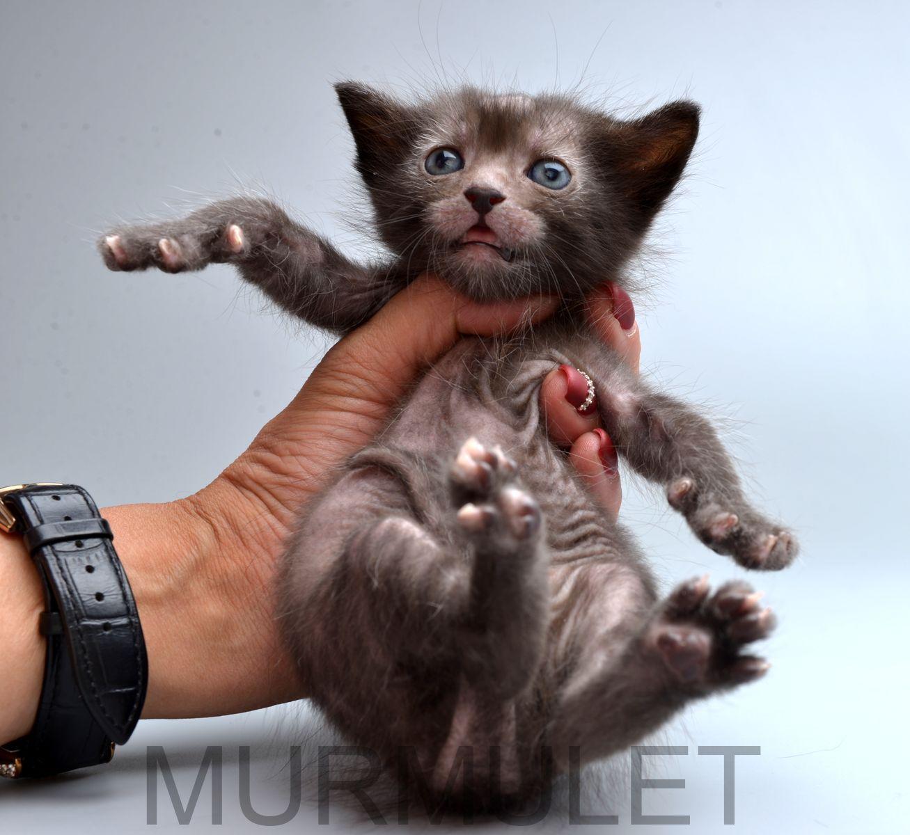 Kitten Lykoi