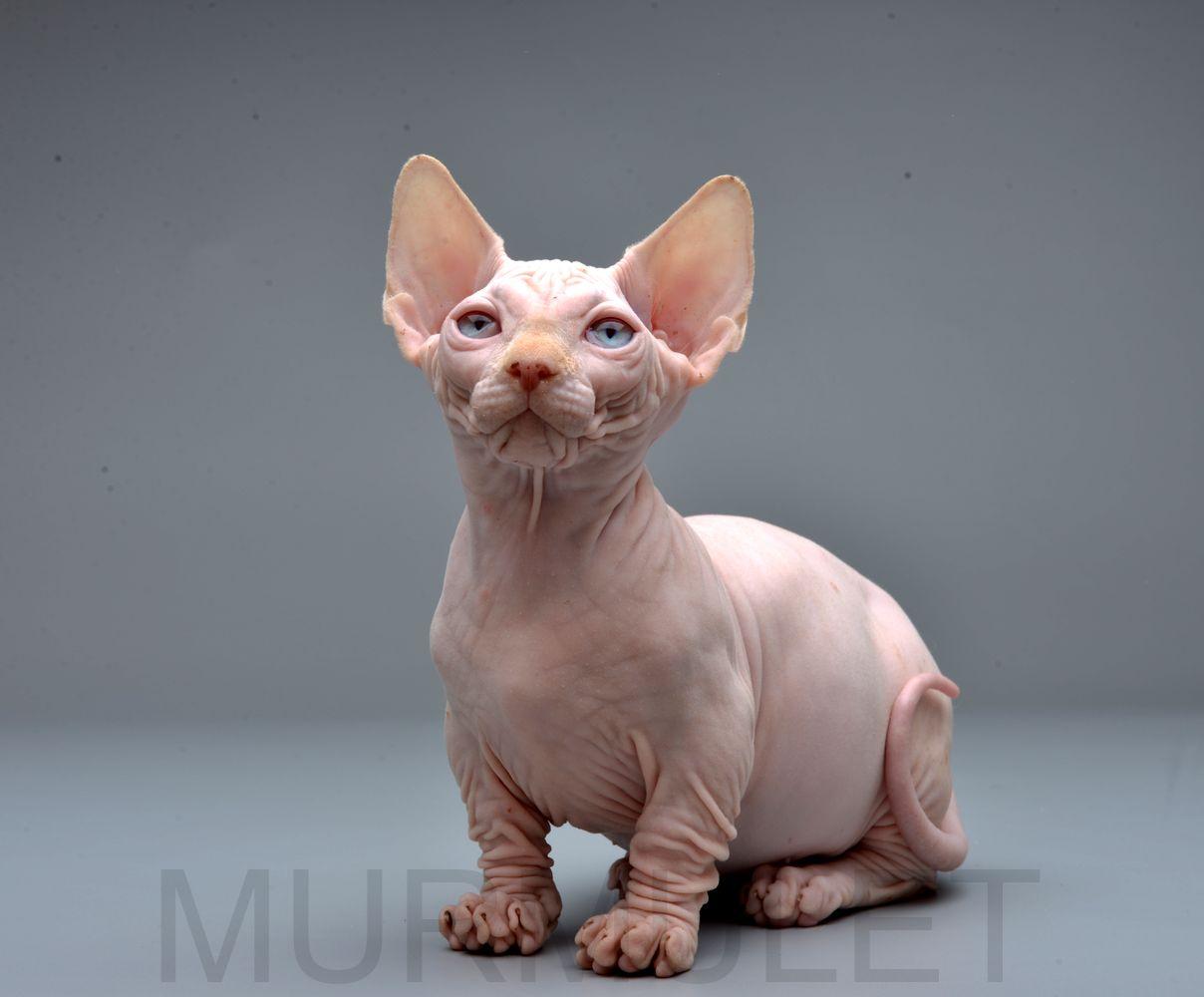 Kitten Bambino Yumber